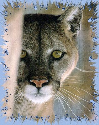 Mountain Lion, Cougar, Puma, Panther, WildCat, Mexican lion,