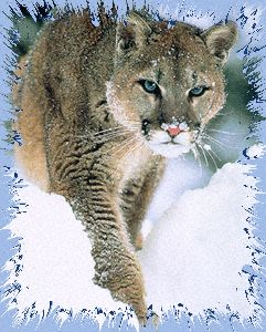 Mountain Lion, Cougar, Puma, Panther, WildCat, Mexican lion, ...